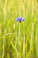 cornflower - PhotoDune Item for Sale