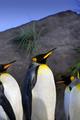 King Penguins - PhotoDune Item for Sale