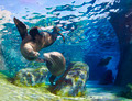 Kissing Sea Lions - PhotoDune Item for Sale