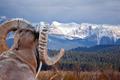 Bighorn Sheep - PhotoDune Item for Sale