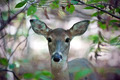 White Tailed Deer - PhotoDune Item for Sale