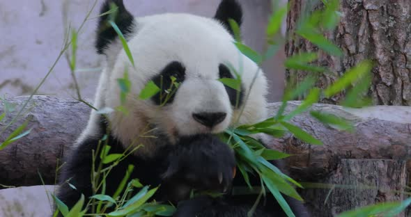 Giant Panda Ailuropoda Melanoleuca Also Known As the Panda Bear