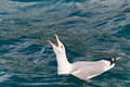 seagull on water - PhotoDune Item for Sale