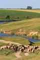 sheep to pasture - PhotoDune Item for Sale