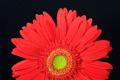 red gerbera daisy - PhotoDune Item for Sale