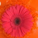 Pink Daisy Gerbera Flower Is Thrown Into The Orange Water Splattering With Drops In Slow Motion 4K - VideoHive Item for Sale