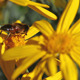 Bee on the Yellow Flower - VideoHive Item for Sale