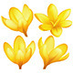 Vector Yellow Crocuses - GraphicRiver Item for Sale