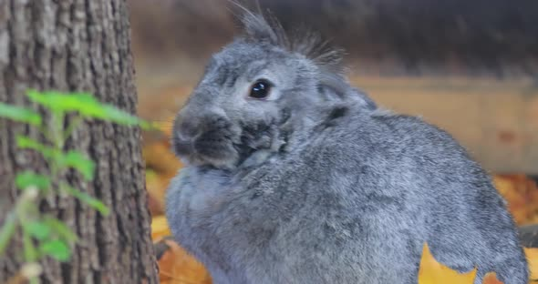 French Lop Is a Breed of Domestic Rabbit Developed in France in the 19Th Century