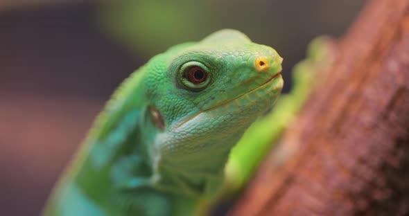 Lau Banded Iguana Brachylophus Fasciatus Is an Arboreal Species of Lizard