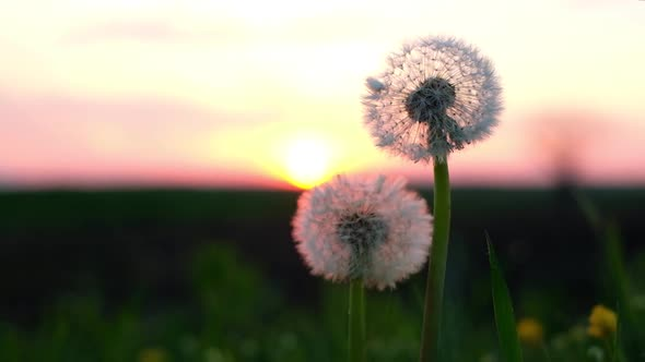 Amazing Dandelion Flower on Summer Field