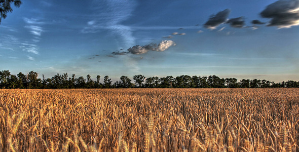 Wheat Field At Sunset Time Lapse
