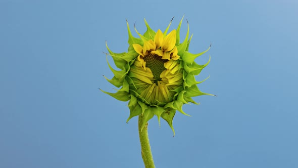 Sunflower Head Opening Timelapse on Blue