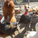 Poultry Come Out Of The Coop - VideoHive Item for Sale