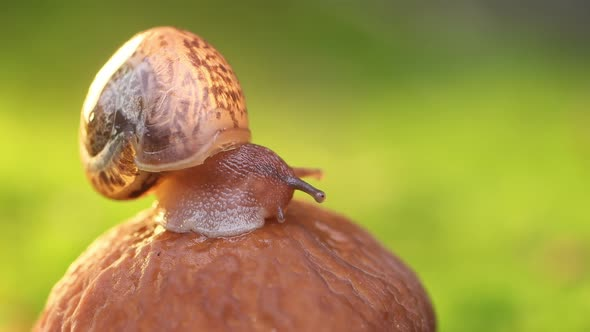 Close-up of a Snail Slowly Creeping in the Sunset Sunlight