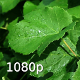 Leaves of Vine After Rain in the Sunshine - VideoHive Item for Sale