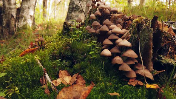 Forest Toadstool Mushrooms Grow on a Rotten Stump