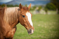 Portrait of a bay horse, 9 years old, outdoors in the rays of th - PhotoDune Item for Sale