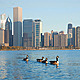Chicago Ducks - VideoHive Item for Sale
