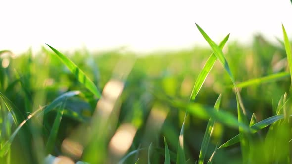 Green Young Wheat Field