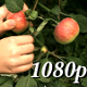 Apple Picking in the Garden - VideoHive Item for Sale