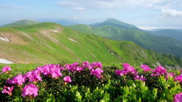 Pink Rhododendron Flowers in Mountains