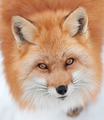 Young Red Fox Looking up at the Camera - PhotoDune Item for Sale