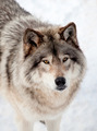 Gray Wolf in the Snow Looking up at the Camera - PhotoDune Item for Sale