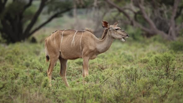 Kudu Antelope Feeding In Natural Habitat
