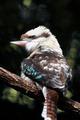 Australian Laughing Kookaburra Bird - PhotoDune Item for Sale