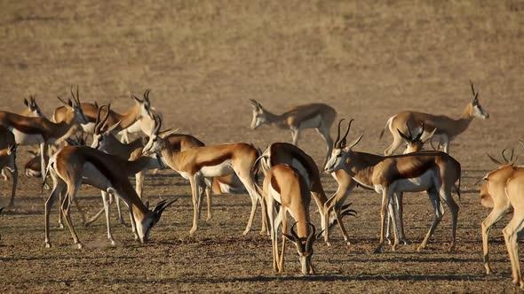 Springbok Antelopes - Kalahari desert
