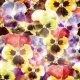 Seamless Pattern of Pansy Flowers - GraphicRiver Item for Sale