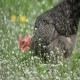 Chicken Nibbles Feed on Green Meadow 01 - VideoHive Item for Sale