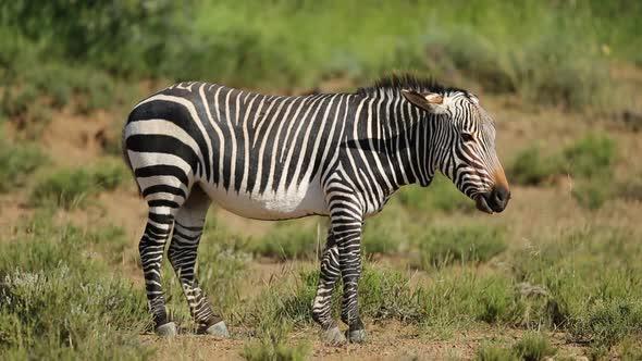 Grazing Cape Mountain Zebra
