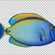 Cartoon Tang Fish Version 04 - VideoHive Item for Sale
